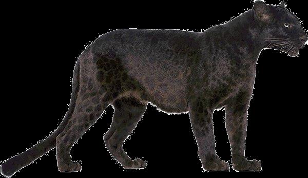 Panther image